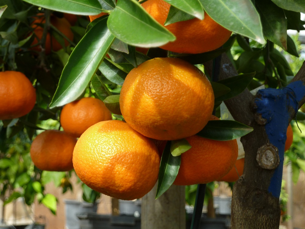 Prometedora variedad de mandarinas sin semillas fue lanzada en España 8f372354c6d