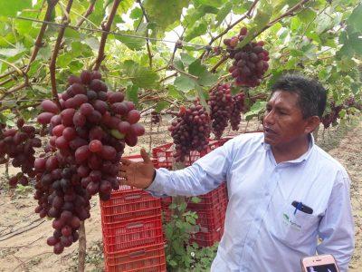 Uvas de la empresa San Miguel llegan por primera vez a Estados Unidos