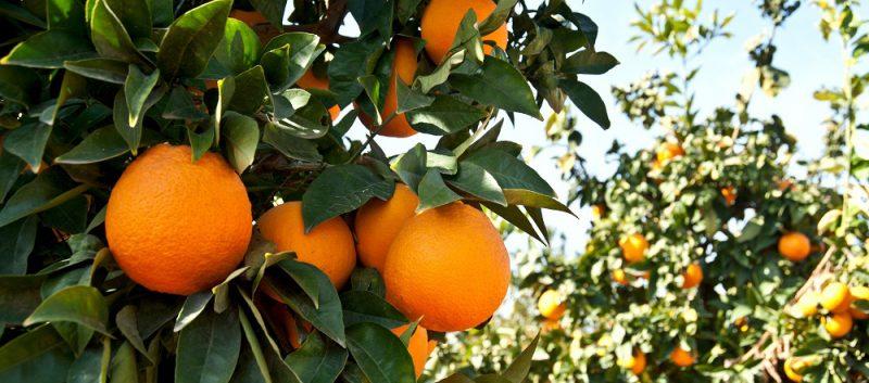 Frío en España pone en riesgo los cítricos y hortalizas