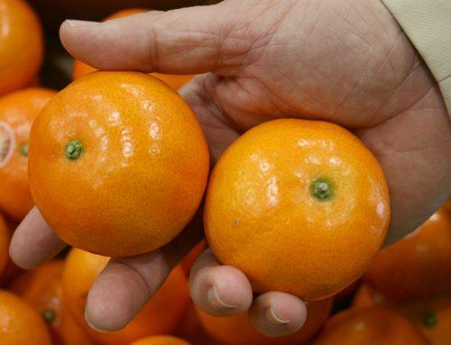 España: Lanzan variedad de mandarinas que promete ser la más tardía del mercado