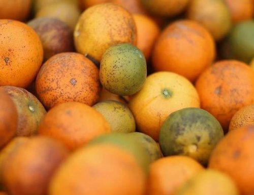 HLB: destacan el trabajo de la cadena citrícola para prevenir la peligrosa enfermedad