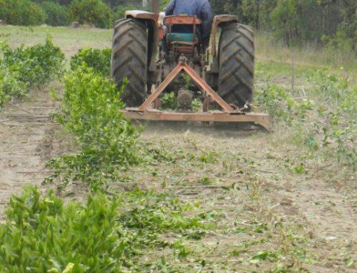 HLB: acciones para proteger la citricultura de Entre Ríos