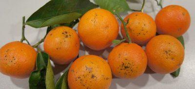 mandarinas Safor