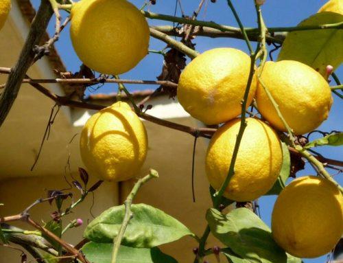 Perú: La exportación de limón creció un 40% este año