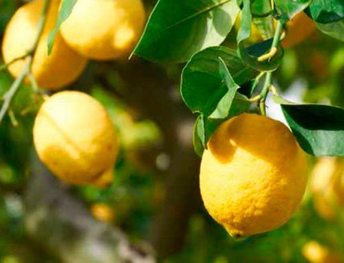 """El """"maná caído del cielo"""" retrasa la cosecha de limón del Cabo Oriental"""