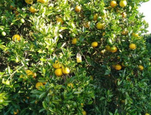 Aún permanece en las plantas un fuerte stock de naranjas de la temporada 17/18
