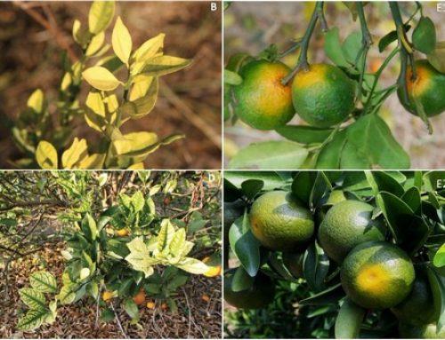 ¿Podrían los cítricos modificados genéticamente ser la respuesta al citrus greening?