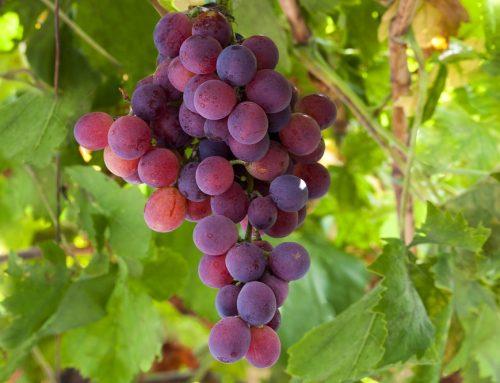 Argentina: Exportaciones de uva de mesa tendrían baja de 18% frente a la temporada anterior