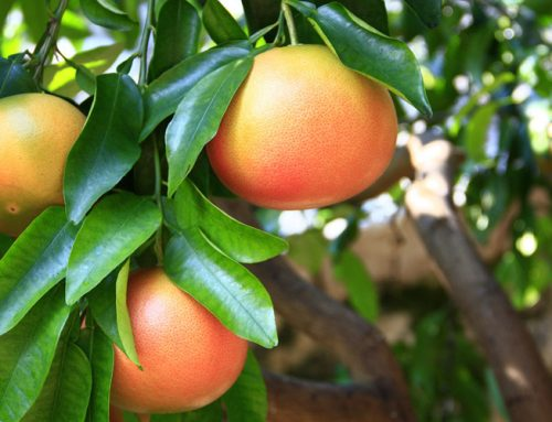 Bruselas autoriza el aditivo E-471 para cítricos, bananas y papayas de importación