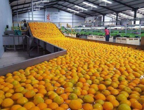 Sudáfrica: Bajan las ganancias por la exportación de cítricos debido al aumento de los volúmenes