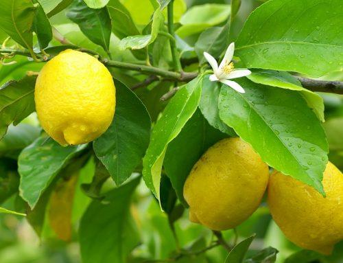 Temporada de limones argentinos se retrasa por problemas climáticos