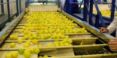 cosecha y empaque de limón