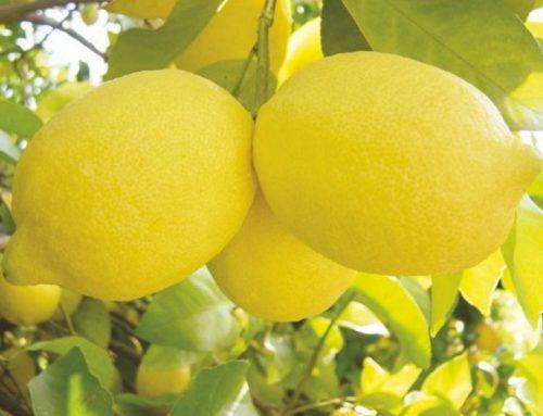 """España: """"La llegada de limón africano preocupa más que el acuerdo con Mercosur"""""""