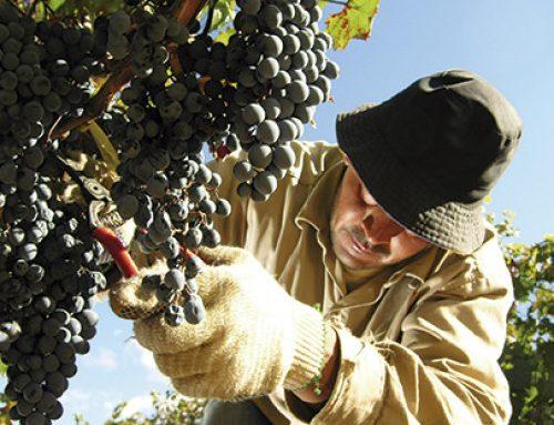 Se abrió el mercado tailandés para las uvas y cerezas argentinas