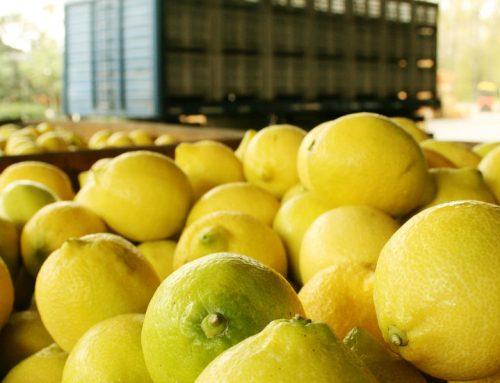 La rapidez del aumento de los volúmenes de limón sorprende al sector sudafricano