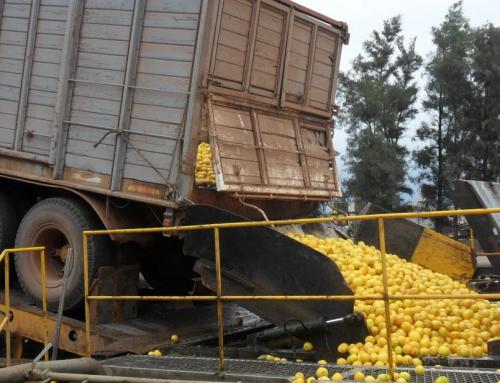 NOA: cayó la producción de limones y los productores trabajaron a pérdida