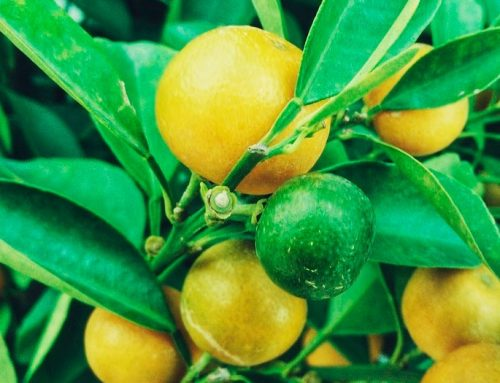 Limones: el 2019 no fue un buen año para los productores