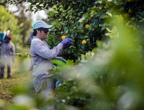 La cosecha avanza y queda poco limón en las quintas