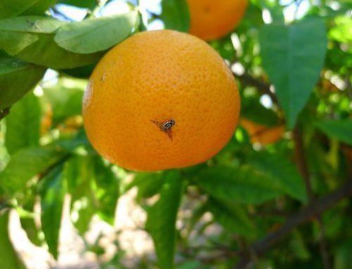 Nueva tecnología aplicada al monitoreo de la mosca de los frutos