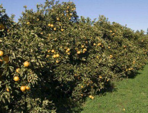 Estiman que la producción de citrus cayó un 40% esta temporada
