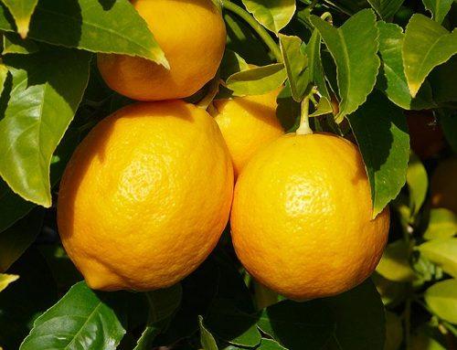 Expectativas positivas para la campaña de limón fino