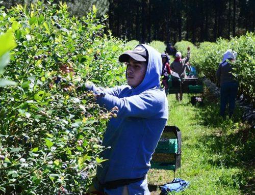 Arándanos: Se fijaron salarios mínimos para trabajadores de cosecha y empaque