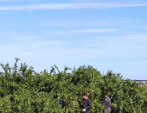 La producción de naranja cae un 40% por la lluvia de primavera