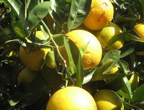 Nueva plaga de insectos afecta a cítricos y berries en Andalucía