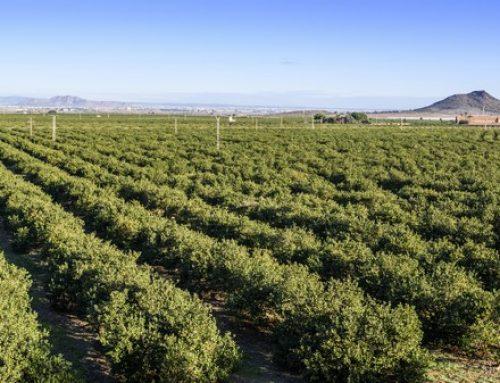 Europa lidera la producción mundial de limón