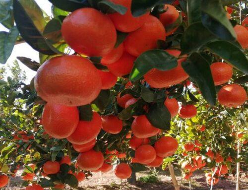 La campaña citrícola valenciana transcurre bien y con buenas expectativas