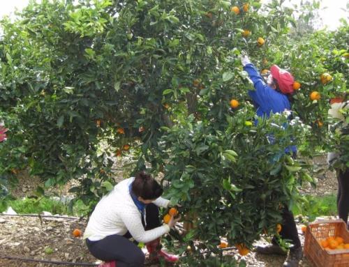La citricultura alerta del peligro de Sudáfrica: doblará envíos en 3 años