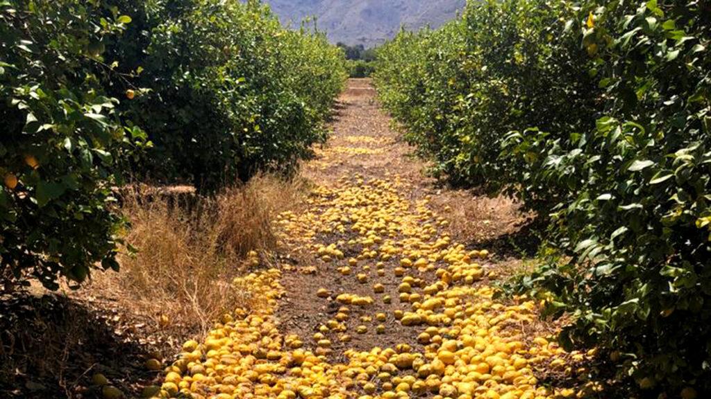 Campaña desastrosa del limón con unas pérdidas superiores a los 52 millones